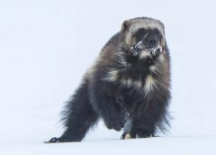Conservationists want to bring wily wolverines back to the Rockies