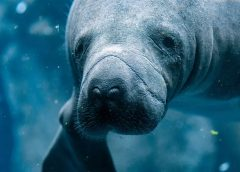 Manatees are dying in record numbers in Florida